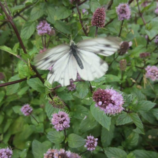 NatTrustButterfly